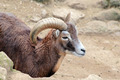 Male goat of Montecristo Island (Capra aegagrus hircus) - PhotoDune Item for Sale
