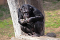 Chimpanzee (Pan Troglodytes) eating - PhotoDune Item for Sale