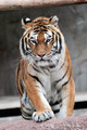 Siberian tiger (Panthera tigris altaica) approaching - PhotoDune Item for Sale
