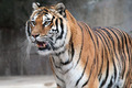 Siberian tiger (Panthera tigris altaica) standing - PhotoDune Item for Sale