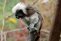 Cotton-top tamarin, Sanguinus oedipus - PhotoDune Item for Sale