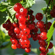 Branch of redcurrant - PhotoDune Item for Sale