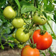 branch of tomatoes - PhotoDune Item for Sale