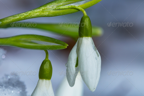 Snowdrops - Stock Photo - Images