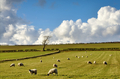 View of sheep in the English Countryside - PhotoDune Item for Sale