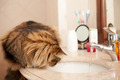Cat On The Washbasin - PhotoDune Item for Sale