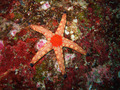Red starfish - PhotoDune Item for Sale