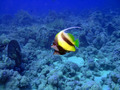 Butterflyfish - PhotoDune Item for Sale
