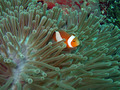 Anemone and Clownfish - PhotoDune Item for Sale