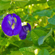 Clitoria ternatea flower - PhotoDune Item for Sale