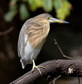 Black-Crowned Night-Heron - PhotoDune Item for Sale