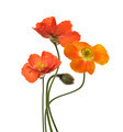 Poppy Flowers - PhotoDune Item for Sale