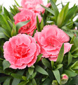 Pink Carnations - PhotoDune Item for Sale