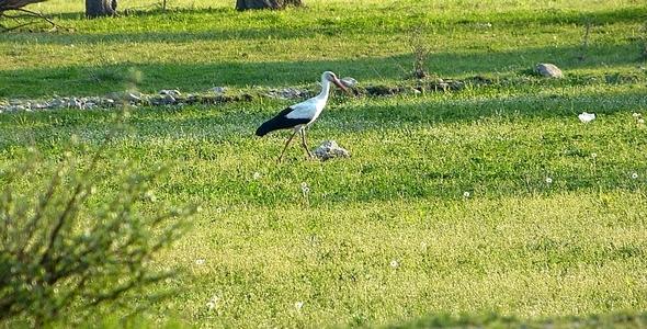 Stork Ciconia 2