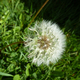 dandelion seed head - PhotoDune Item for Sale