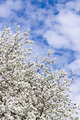 Apple tree blossom - PhotoDune Item for Sale