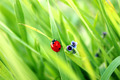 Ladybirds on Grass - PhotoDune Item for Sale
