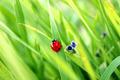 Ladybirds on Grass - PhotoDune Item for Sale