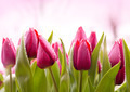 Fresh Tulips with Dew Drops - PhotoDune Item for Sale