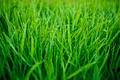 Fresh Grass With Dew Drops - PhotoDune Item for Sale