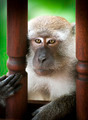 Long-Tailed Macaque - PhotoDune Item for Sale
