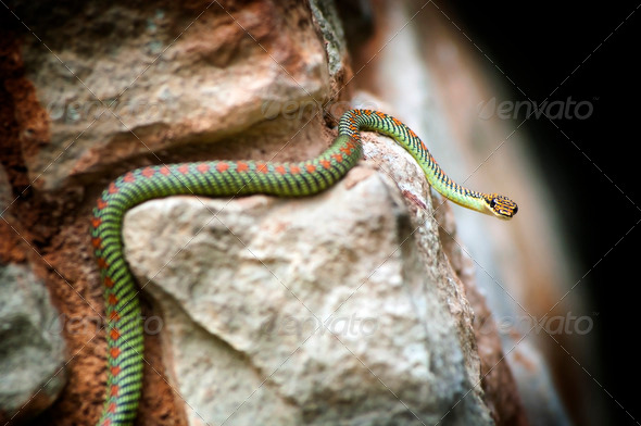 Paradise Snake - Stock Photo - Images