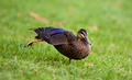 Pacific Black Duck - PhotoDune Item for Sale