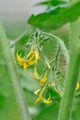 flowering tomato plant - PhotoDune Item for Sale