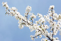 Cherry Tree Branch Blooming in Spring - PhotoDune Item for Sale