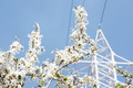 Cherry Tree Branch Against the Background of City Electric Tower - PhotoDune Item for Sale