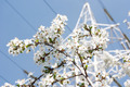 Cherry Tree Branch Against the Background of City Electric Tower & Wires - PhotoDune Item for Sale