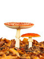 Young and fully grown fly agaric mushroom isolated on white - PhotoDune Item for Sale