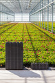Crates in front of rows of young geranium plants - PhotoDune Item for Sale