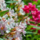 White and pink oleander flowers - PhotoDune Item for Sale