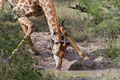 Giraffe drinking - PhotoDune Item for Sale