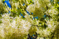 White, fleecy blooms  hang on the branches of fringe tree - Chionanthus virginicus - PhotoDune Item for Sale