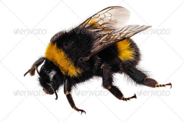 Bumblebee Bombus terrestris - Stock Photo - Images