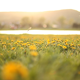 Sliding Around Dandelion - VideoHive Item for Sale