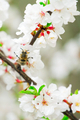 Bee on a blooming cherry branch - PhotoDune Item for Sale