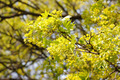 Blooming Maple Tree - PhotoDune Item for Sale