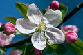 Apple-tree flowers - PhotoDune Item for Sale
