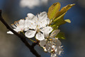 Cherry blossom branch - PhotoDune Item for Sale