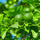 Unripe green oranges hanging on a branch - PhotoDune Item for Sale