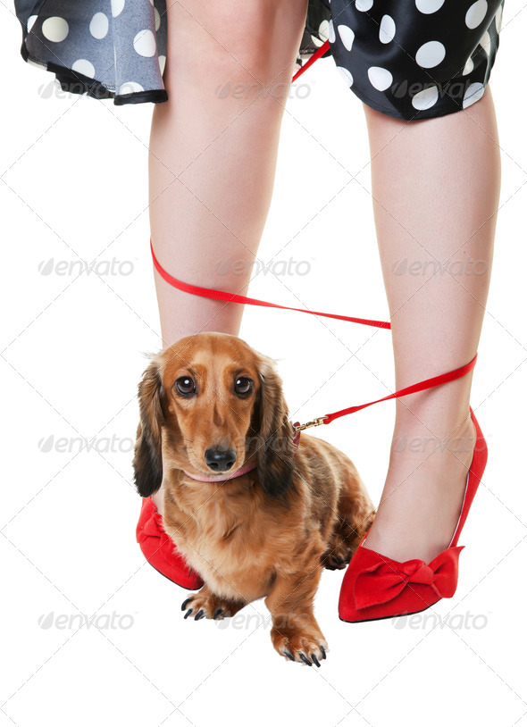 Tangled Dashshund Dog - Stock Photo - Images