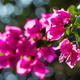 Pink flowers on the blooming tree branch - PhotoDune Item for Sale