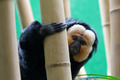 White Face Saki Monkey - PhotoDune Item for Sale