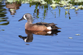 Blue-winged Teal - PhotoDune Item for Sale