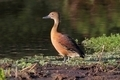 Fulvous Whistling Duck - PhotoDune Item for Sale