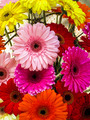 Gerbera flowers in different colors 2 - PhotoDune Item for Sale