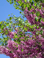 Acacia tree with pink blossoms 4 - PhotoDune Item for Sale